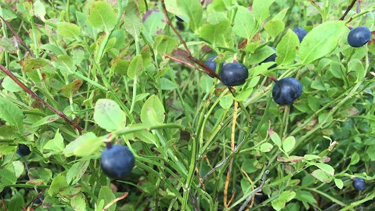 Blåbär, blåbärsbrist. bärplockning