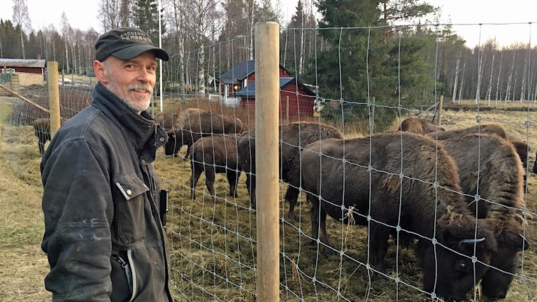 Håkan Nilsson står utanför ett högt stängsel med bisonoxar innanför