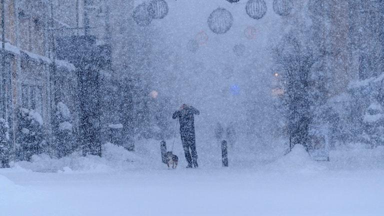 Man med hundar går i centrala Östersund i krafttigt snöfall och blåst. Stormen Cora har nu nått Östersund. Foto: Göran Strand/TT