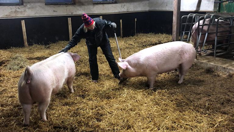 Två grisar blir klappade av sin ägare