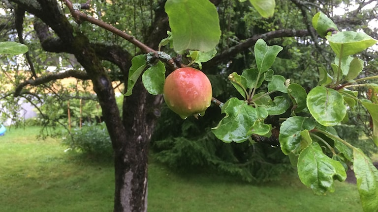 Ett äpple på en gren