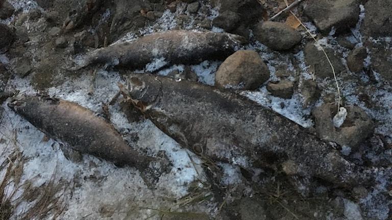 Döda laxar längs Ljungans strand