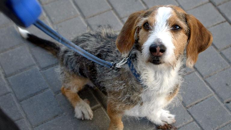 Hund som tittar upp mot husse/matte som håller i kopplet. Foto:  Roger Lundsten / TT
