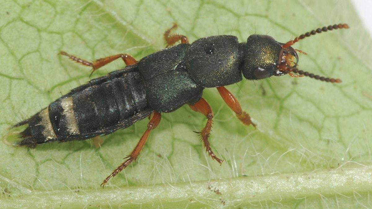 Skalbaggen Platydracus fulvipes