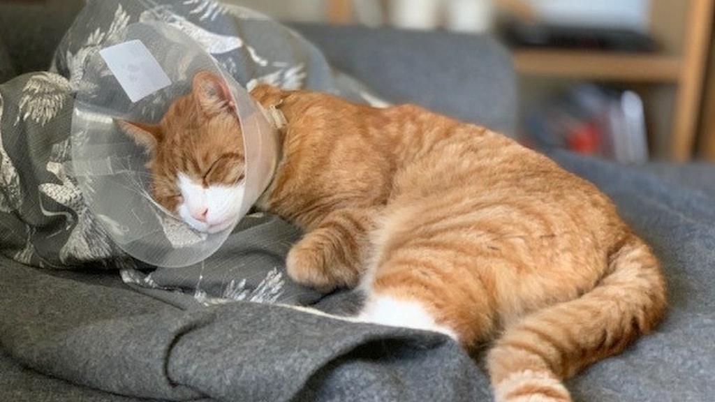 En brunspräcklig katt med tratt.