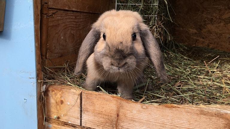 En av kaninerna som hyrs ut i Möklinta.
