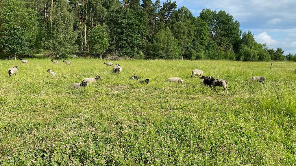 får vallby friluftsmuseum fårhage