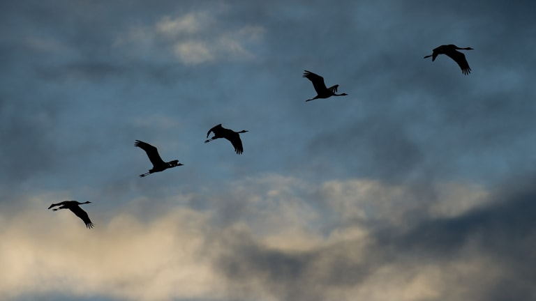 Tranor flyger