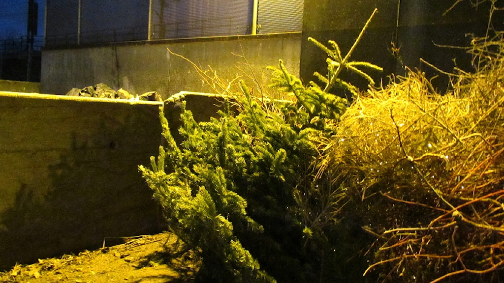 Julgran på återbruket / Foto: Martin Vare SR