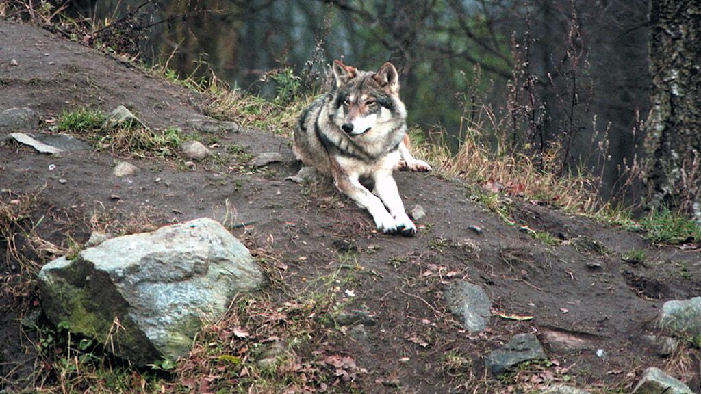 En varg (Arkivbild) / Foto: Bertil Olofsson SVT Bild
