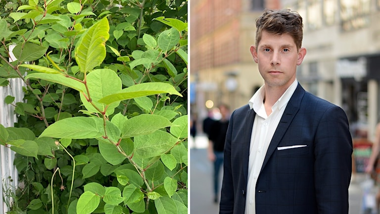 Till vänster en bild på växten parkslide och till höger Joakim Lusensky, presstalesman Mäklarsamfundet