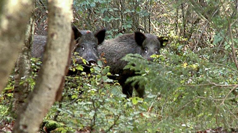 Vildsvin i en skog. Foto: Erland Vinberg/TT.