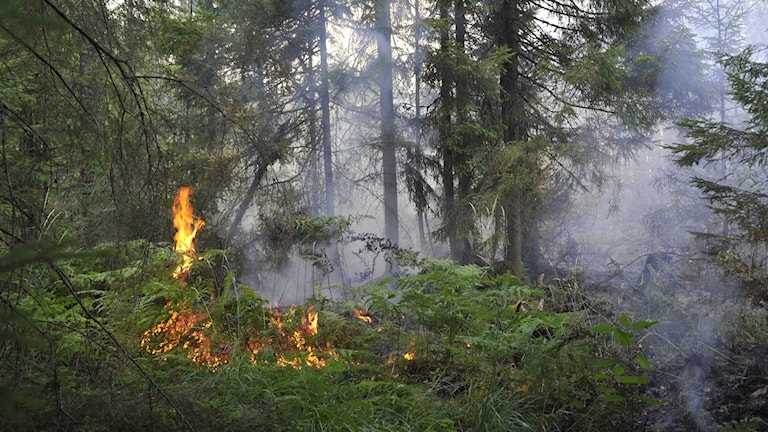 People near the huge forest fires in central Sweden this summer would have received localised warnings. Photo: Andreas Irebring / Sveriges Radio