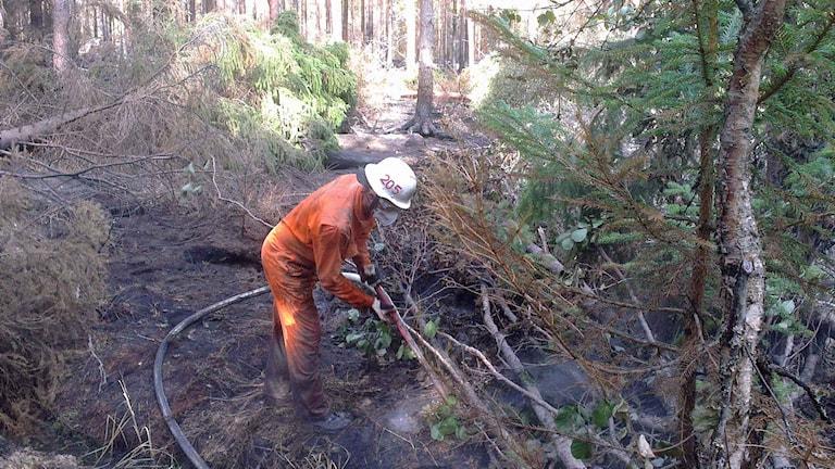 Roy Strömberg bekämpar skogsbranden i Västmanland. Foto: Filip Stiller / Sveriges Radio