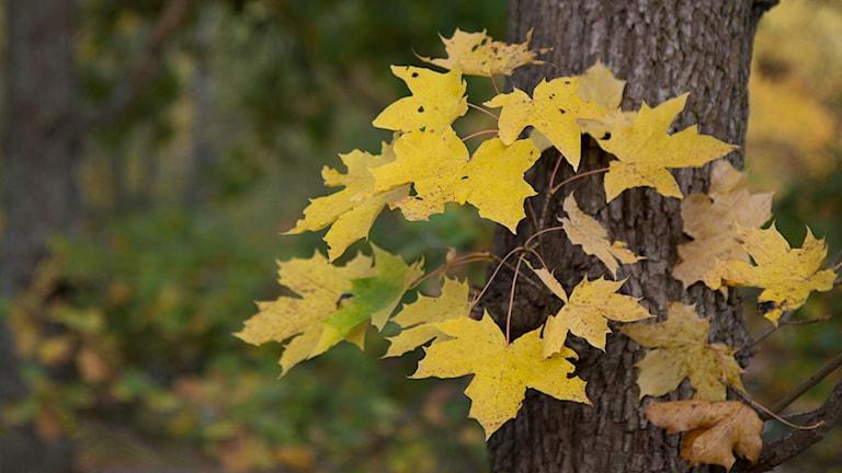 Höstlöv på ett träd / Foto: Michael Gawell / Sveriges Radio