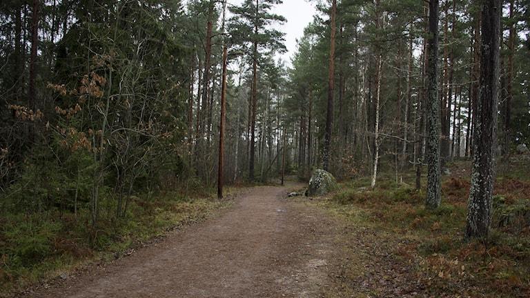 Motionsspår omgivet av skog. Foto: Kristin Axinge Jaslin/Sveriges Radio.