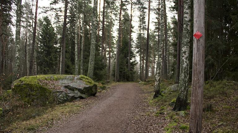 Motionsspår slingrar sig i skog. Foto: Kristin Axinge Jaslin/Sveriges Radio.