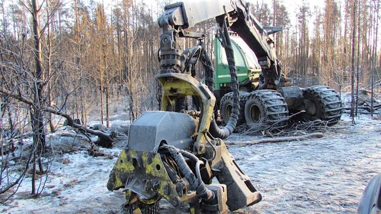 Avverkningen pågår för full. Foto: Erika Mårtensson/Sveriges Radio.