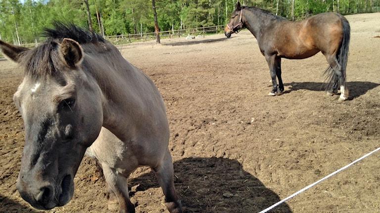 Hästar i Grällsta.