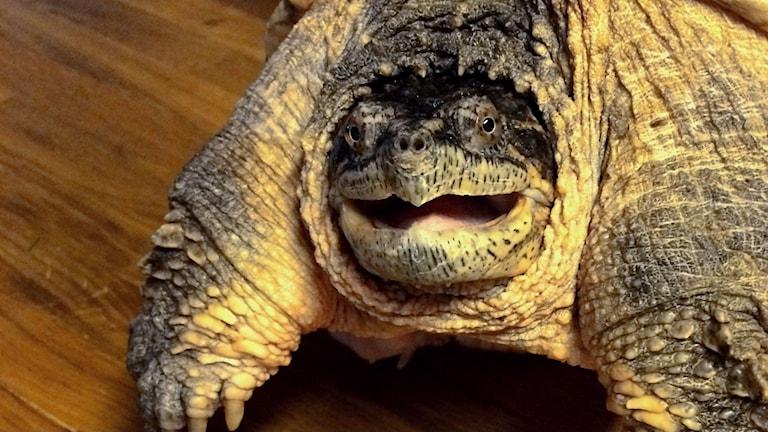 Snappsköldpadda på Kungsbyns djurpark
