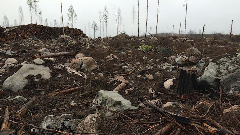 Stora skogsbranden i Västmanland. Foto: Kent Nilsson/Sveriges Radio.