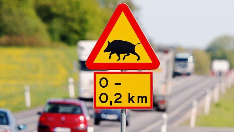 Varning för vildsvin. / Foto: Johan Nilsson / TT.