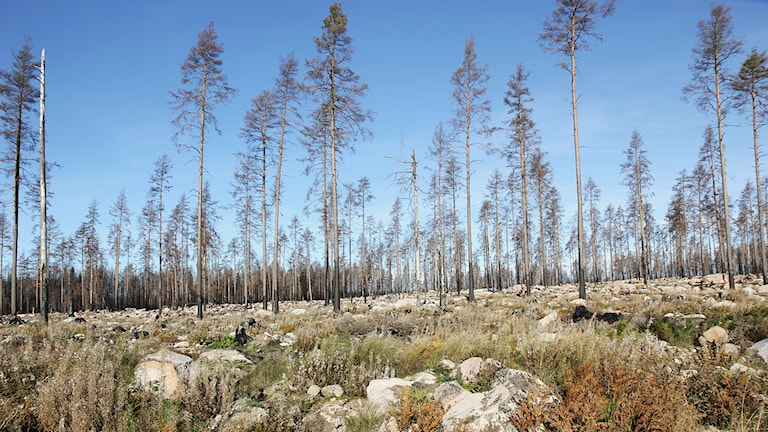 Brandhärjad skog i Hälleskogsbrännan. / Foto: Michael Gawell. Sveriges Radio.