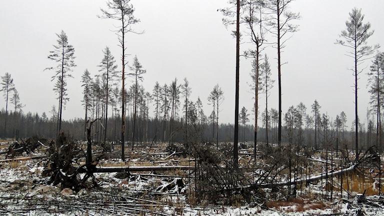 Svartbrända träd och rotvältor, vinter med litet snö på marken. Foto: Monica Elfström/Sveriges Radio.