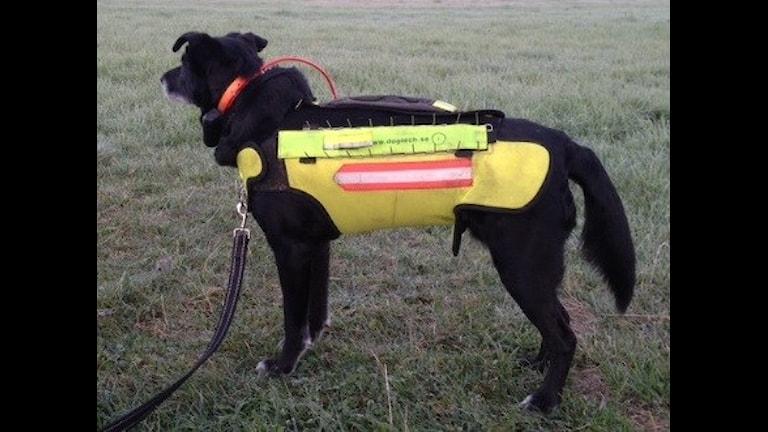 Hund med skyddsväst mot rovdjursangrepp. Foto: Andreas Lönnström.
