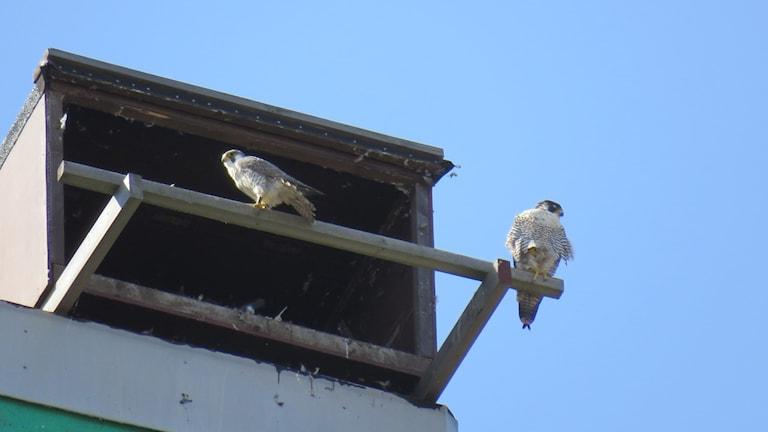 Pilgrimsfalkarna AY (hane) och BH (hona) i sitt bo på silon i Västerås hamn