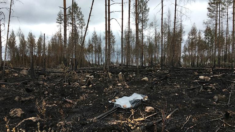 Efter skogsbranden vid Rörbo i Sala kommun.