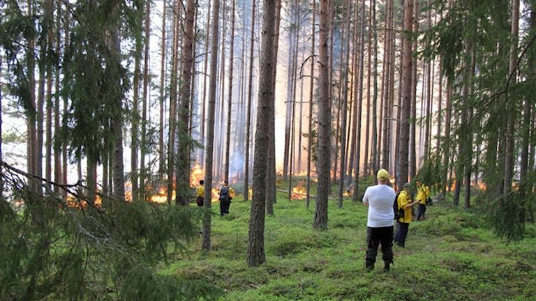 Länsstyrelsens egen bild från naturvårdsbränningen i Färnebofjärden.