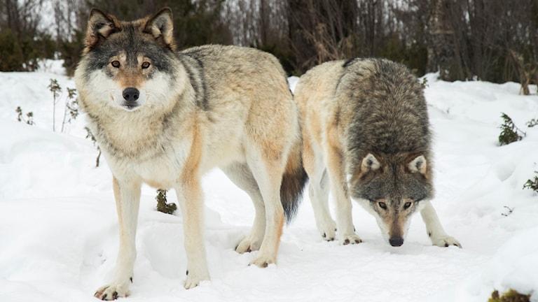 Vargar i snöigt landskap