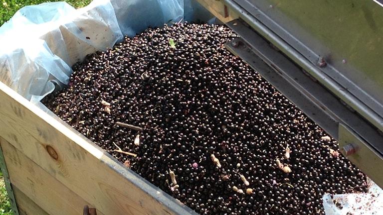 De svarta vinbren samlas upp i stora trldor p trskan