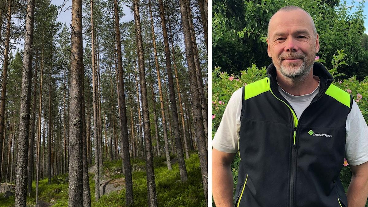 Mats Rolander och tallskog