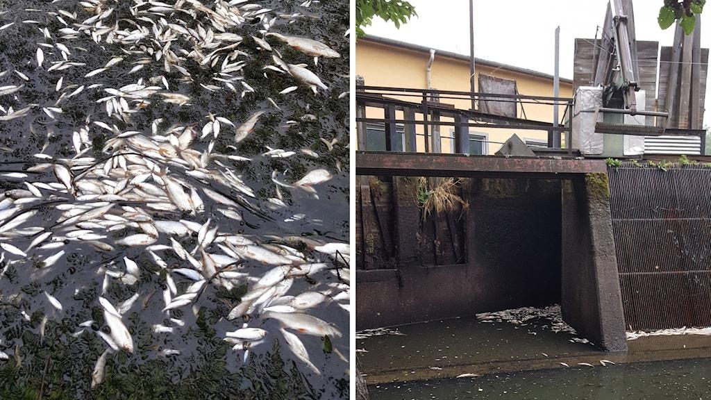 Många döda fiskar i den torrlagda kanalen.