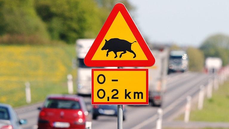 Varning för vildsvin.