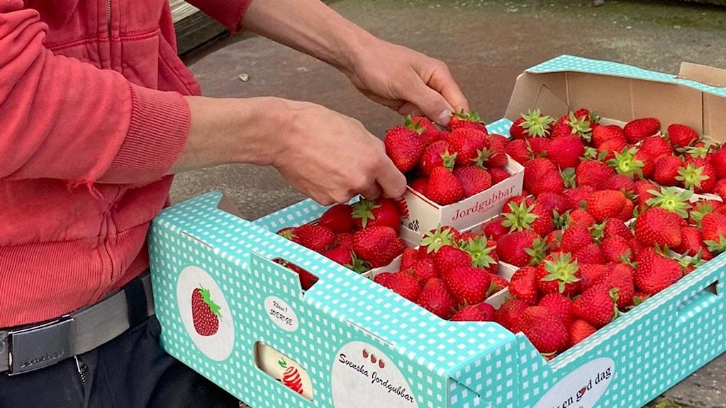 En låda med nyplockade jordgubbar.