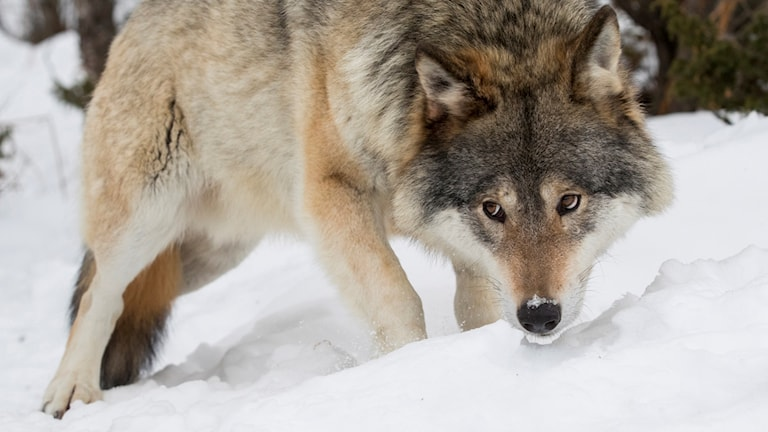 En varg går i snö.