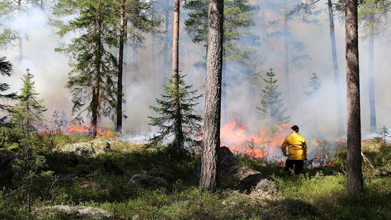 Naturvårdsbränning i naturreservatet Lappland i Västmanland 2016