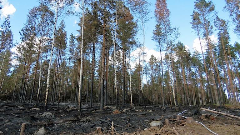 Svart i skogen efter branden i Broddbo/Ulvsbo.