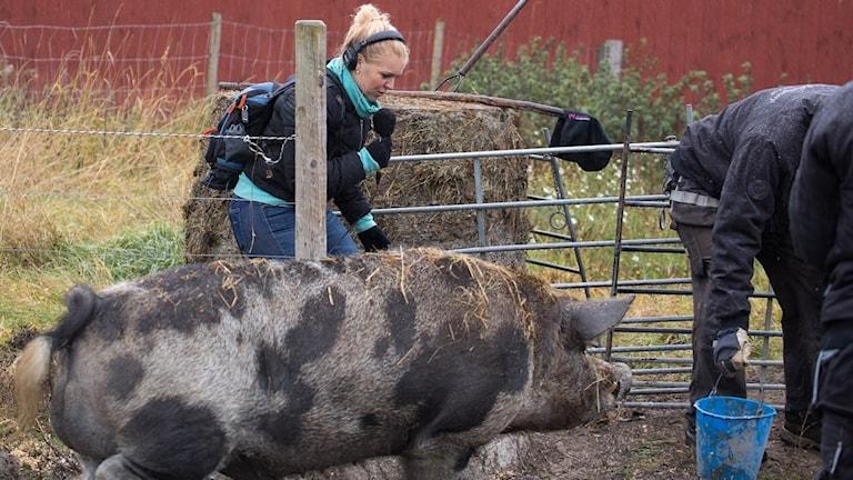 P4 Västmanlands programledare Jonna Noblin blev utlånad i dagens program till Fallängetorp där det skulle galten Gotte skulle lastas.