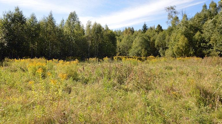 Torrt gräs, blommor och träd på platsen där Semla Dammsjö fanns.