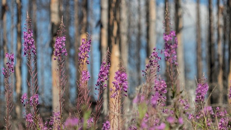 Växter bland de brandskadade träden i Hälleskogsbrännan.