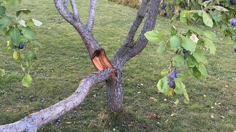 Sprucket plommonträd