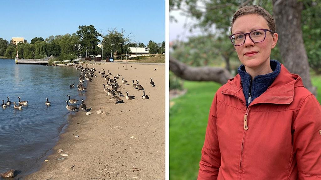 En bild på Kanadagäss på Lögastrand i Västerås och sen Linnea Wiklund, gatu- och parkchef i Västerås stad.
