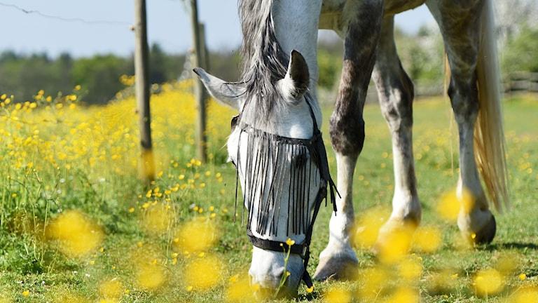Frodigt gräs börjar att bli en bristvara i Sverige på grund av torkan vilket ställer till det för ägare till betesdjur.