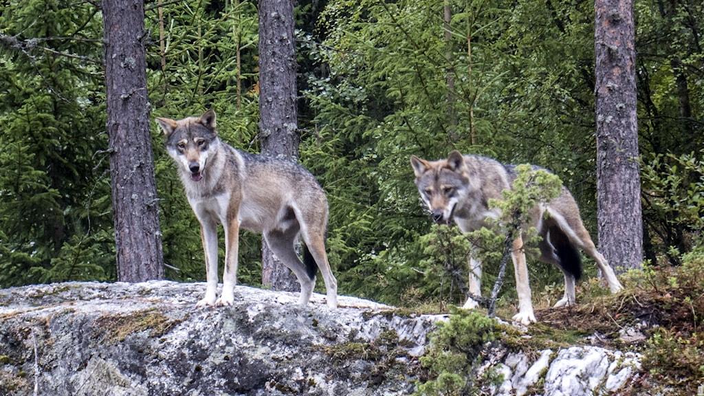två vargar på sten i skogen