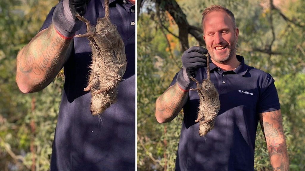 En skadedjursbekämpare håller upp en 25 centimeter lång, död råtta.