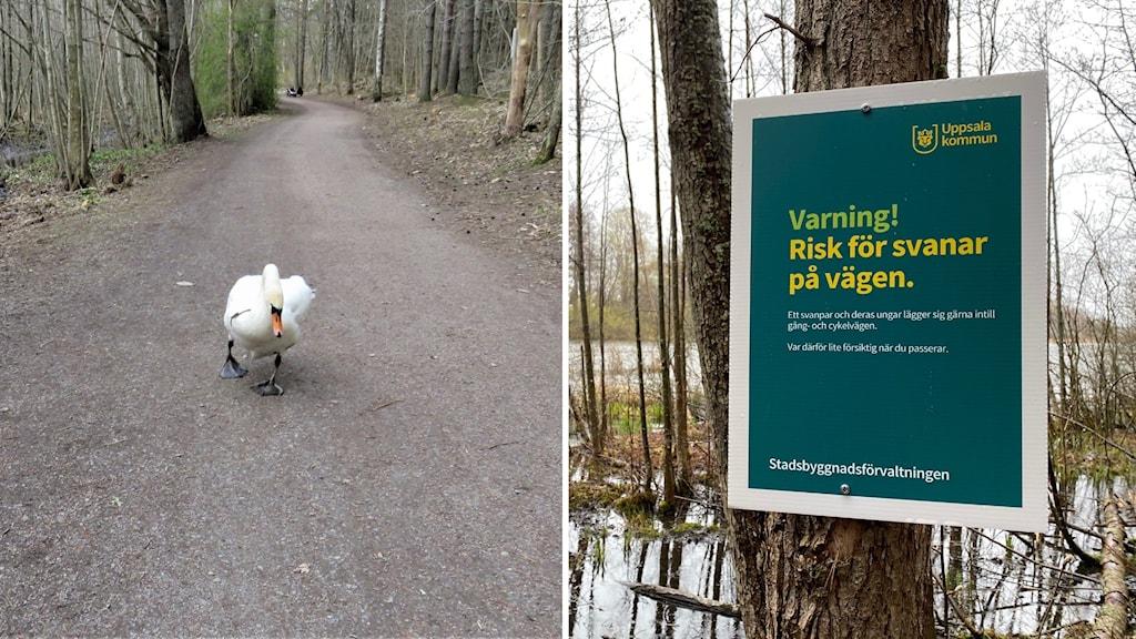 Svan på vänster bild, skylt om svanar på höger bild.